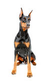 Sitting doberman pinscher on white isolated Stock Photo