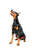 Sitting doberman pinscher on white isolated Stock Images