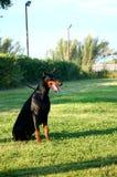 Sitting dobermann at leash Royalty Free Stock Photo