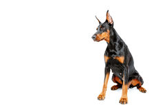 Sitting dobermann pinscher on white isolated Royalty Free Stock Photos