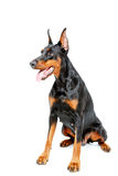 Sitting dobermann pinscher on white isolated Stock Photography