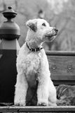 Sitting Dog. White dog sitting on a bench in a park, looking to the right. Black and white (B&W) portrait stock photo