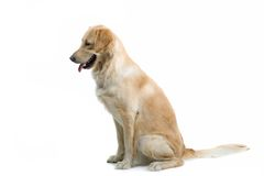 Sitting dog Royalty Free Stock Photos