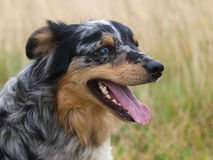 Sitting Dog. A head shot of a sheep dog sits in the grass Stock Photography