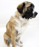 Sitting dog Stock Photography