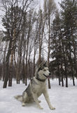 Sitting dog breed Siberian Husky. Loves snow and forest Stock Photos
