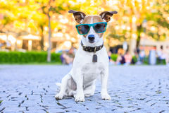 Sitting dog with cool sunglasses stock images