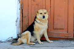 Sitting dog. Dog sitting in front of door Royalty Free Stock Photos