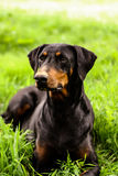 A sitting dog Royalty Free Stock Photography