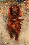 Sitting dog Irish setter staring at lens stock photography