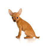 Sitting dog Russian toy terrier Royalty Free Stock Images