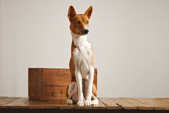 Sitting dog in studio Stock Photos