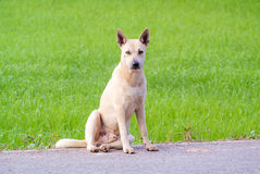 Sitting dog. Yellow white dog sitting on the road with green background royalty free stock photography