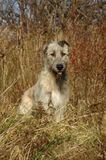 Sitting Dog 2. Younger Irish Wolfhounds sits in a scrub, with tilted ears, and an attentive expression Stock Images