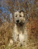 Sitting Dog. Younger Irish Wolfhounds sits in a scrub, with tilted ears, and an attentive expression Stock Image