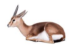 Sitting dorcas gazelle. (Gazella dorcas). Isolated over white background stock images