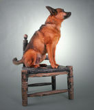 Sitting down. A chihuahua mix dog sitting on an old chair Stock Photos