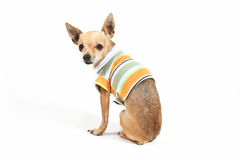 Sitting down. A tiny chihuahua sitting with a shirt on Royalty Free Stock Photo