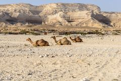 Sitting dromedaries in Wadi Ash Shuwaymiyah (Oman). Sitting dromedaries in canyon of Wadi Ash Shuwaymiyyah (Oman Royalty Free Stock Photography