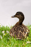 Sitting Duck Royalty Free Stock Photography