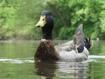 Sitting Duck Royalty Free Stock Photo