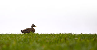 Sitting duck Royalty Free Stock Images
