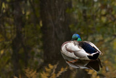Sitting duck Stock Photography