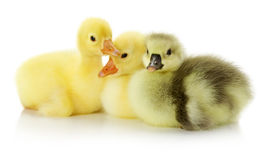Sitting ducklings on the white background Royalty Free Stock Photos