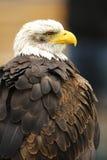 Sitting eagle Stock Images