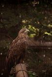 Sitting eagle portrait Stock Images