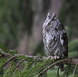 Sitting Eastern Screech Owl Royalty Free Stock Image