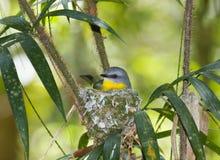 Sitting Eastern yellow robin incubates eggs stock photography