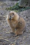 Sitting eating Groundhog. Single sitting eating Groundhog in the country side stock photos