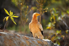 Sitting Egyptian Vulture (Neophron percnopterus) in Socotra isla Stock Photo