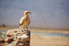 Sitting Egyptian Vulture (Neophron percnopterus) in Socotra isla Royalty Free Stock Images