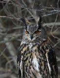 Sitting Eurasian Eagle Owl Stock Photography