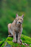 Sitting Eurasian wild cat Lynx on green moss stone in green forest in background Stock Images