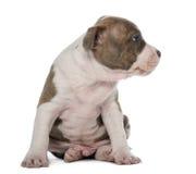 Sitting för amerikanska Staffordshire Terriervalp Arkivbild