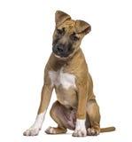 Sitting för amerikanska Staffordshire Terriervalp Arkivfoto