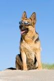 sitting för får för strandhundsand royaltyfri fotografi