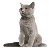 sitting för shorthair för 3 brittiska kattungemånader gammal Arkivbilder