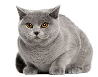 sitting för shorthair för 8 brittiska kattmånader gammal Royaltyfria Foton