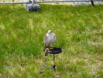 Sitting falcon. Royalty Free Stock Image
