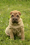 Sitting fawn puppy sharpei in the grass. Fawn horse coated puppy sharpei, age 8 weeks old,  wrinkled dog sitting on the grass Stock Image