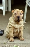 Sitting fawn puppy sharpei. Fawn horse coated puppy sharpei, age 7 weeks old,  wrinkled dog Royalty Free Stock Photos