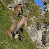 Sitting female alpine ibex Stock Photos