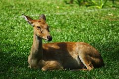 Sitting female deer Stock Photography