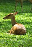 Sitting female deer  on the grass Stock Photos