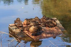 Sitting flock of ducks on a pond. Flock of wild ducks sit by the lake Stock Photo