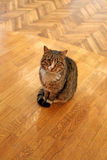 Sitting on the floor cat Royalty Free Stock Image
